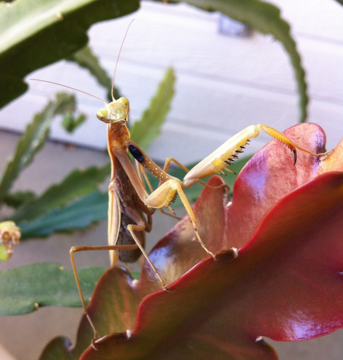 Praying mantis who died on 11/18/2015.